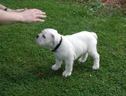 Очаровательны щенков английского бульдога ждут вас