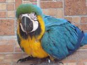Rдома,  поднятые и зарегистрирован синих и золотых попугаи ара для прод