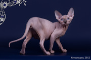 Породистые котята сфинкс.