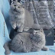 Котенок. Британский длинношерстный.